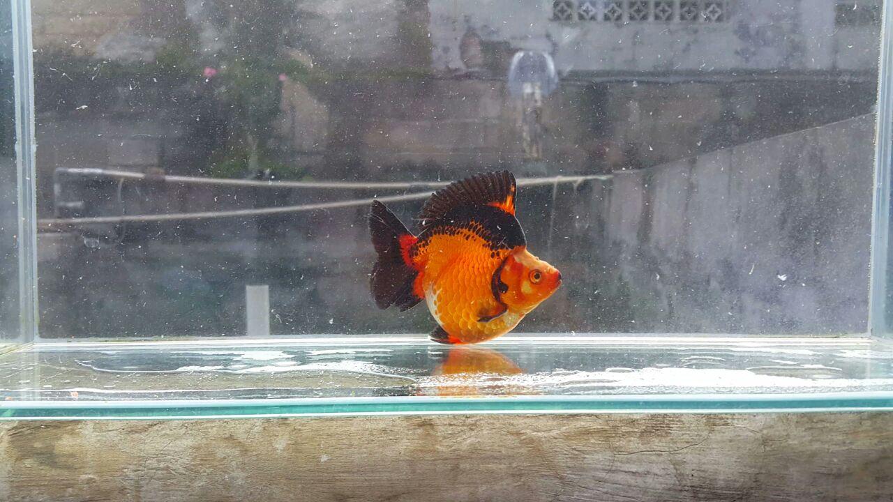Foto: Salah satu jenis ikan mas koki yang dihasilkan Reza Goldfish/Dok: Pribadi