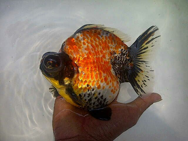 Download 4300 Gambar Ikan Mas Koki Black Moor Terpopuler