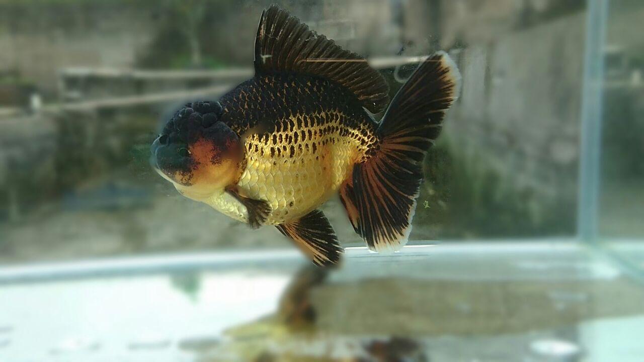 Foto: Salah satu jenis ikan mas koki Oranda yang dihasilkan Reza Goldfish/Dok: Pribadi