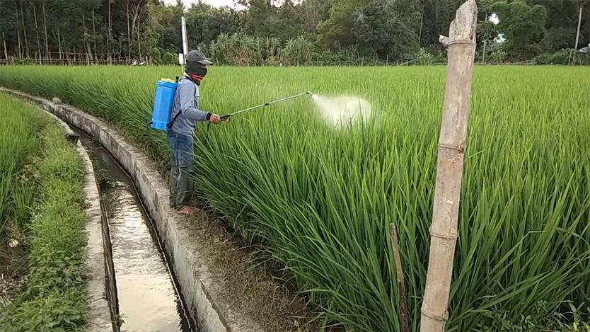 cara menyemprot padi